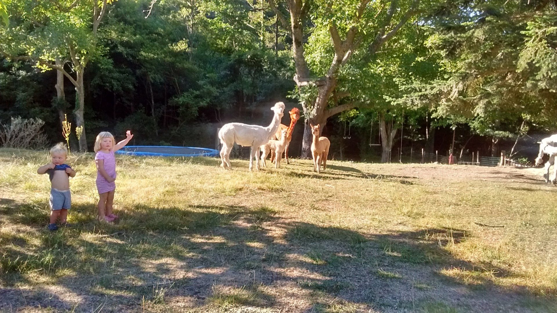 alpacas france free range kids