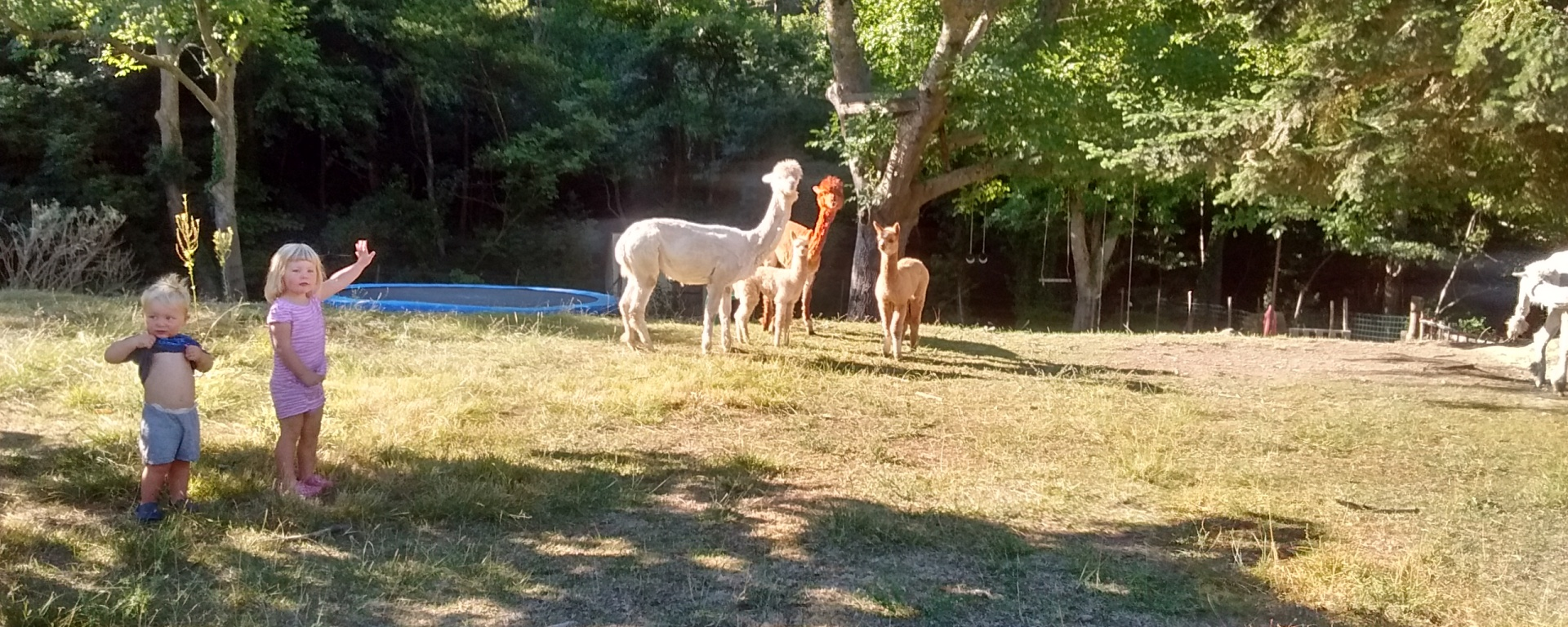alpacas france free range kids